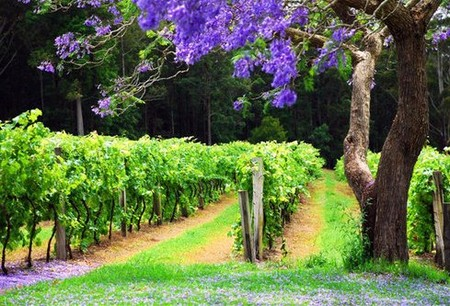 Bago Vineyards - ACT Tourism