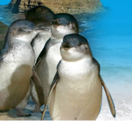 Phillip Island Penguin Parade - ACT Tourism