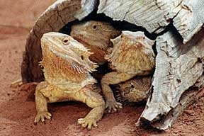 Alice Springs Reptile Centre - ACT Tourism