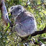 Koala Conservation Centre - ACT Tourism