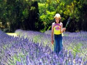 Brayfield Park Lavender Farm - ACT Tourism