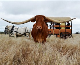 Texas Longhorn Wagon Tours and Safaris - ACT Tourism