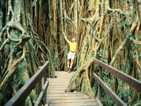 Curtain Fig Tree - ACT Tourism