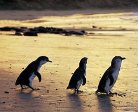 Phillip Island Nature Park - ACT Tourism