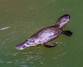Platypus Viewing at Broken River - ACT Tourism