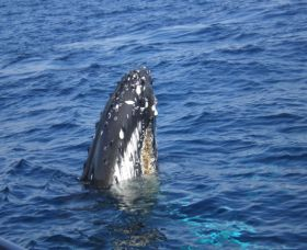 Jervis Bay Whales - ACT Tourism