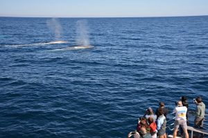 Blue Whale Perth Canyon Expedition - ACT Tourism