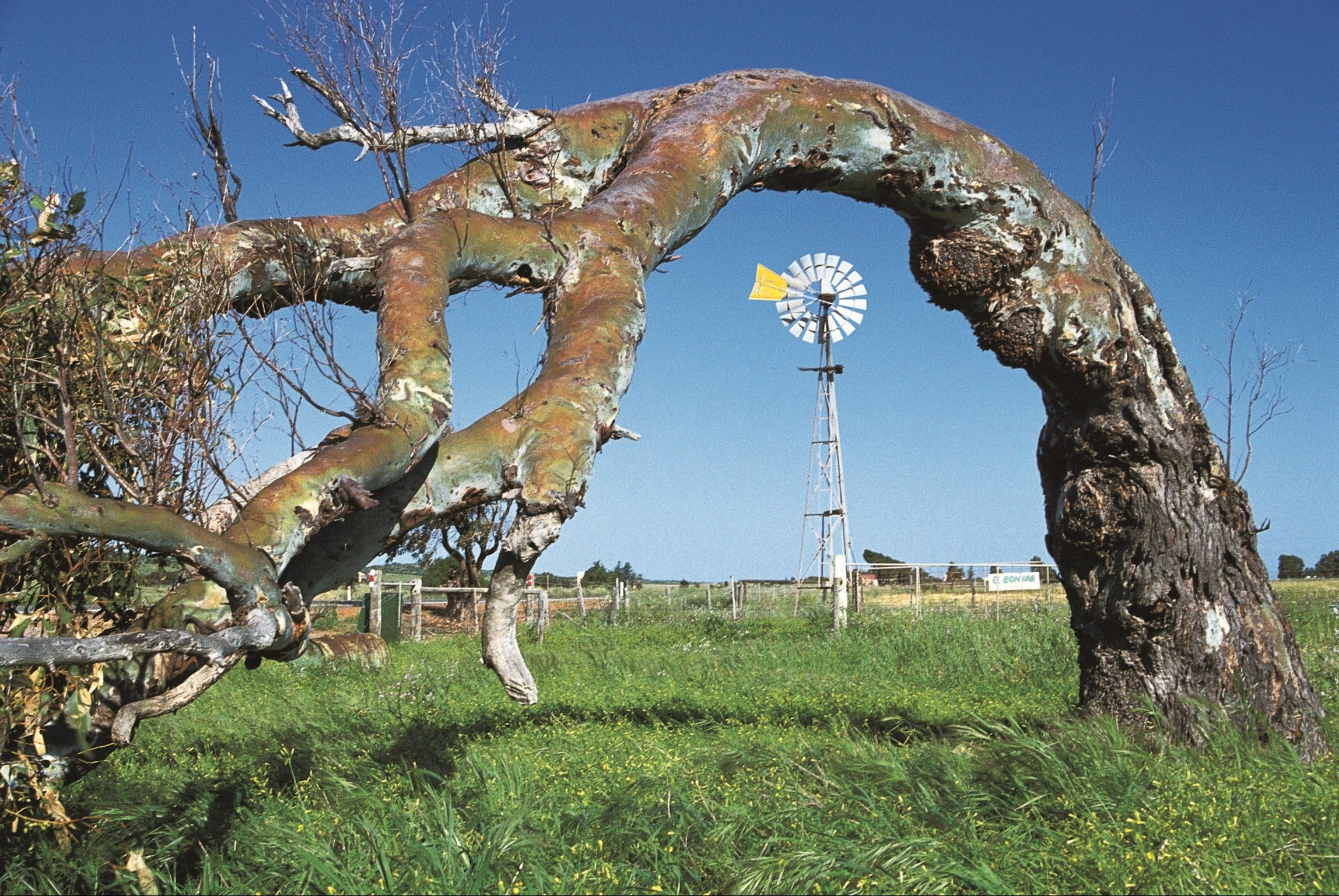 Greenough Leaning Trees - ACT Tourism