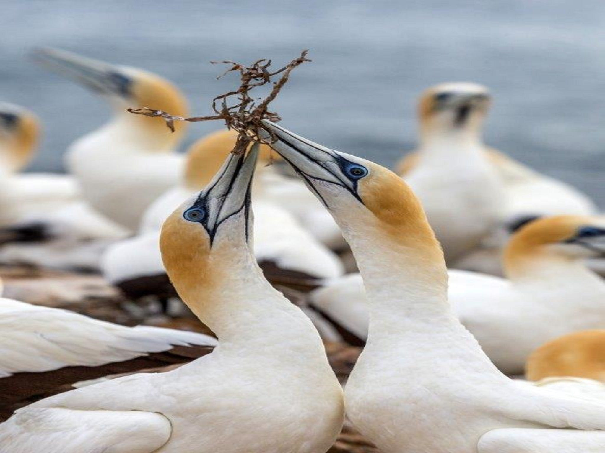 Gannets in Portland - ACT Tourism