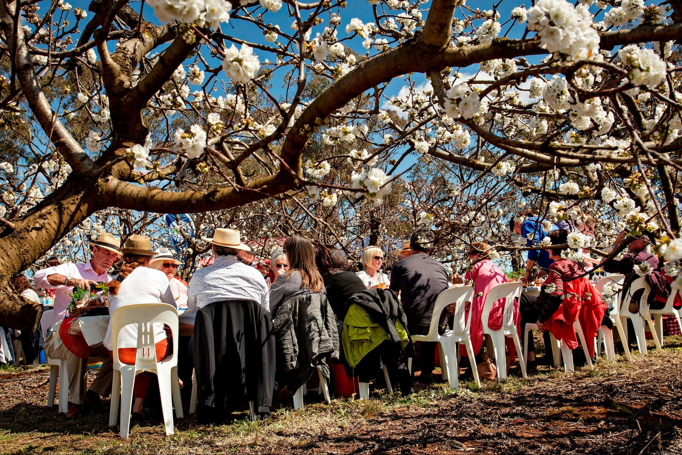 Young Cherry Blossom Long Lazy Lunch - ACT Tourism