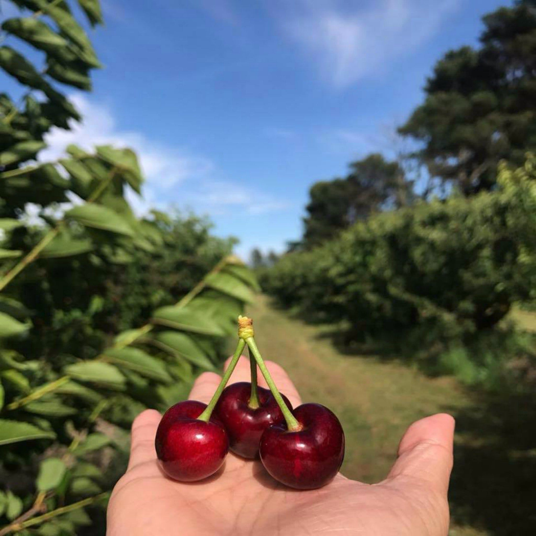 National Cherry Festival - ACT Tourism