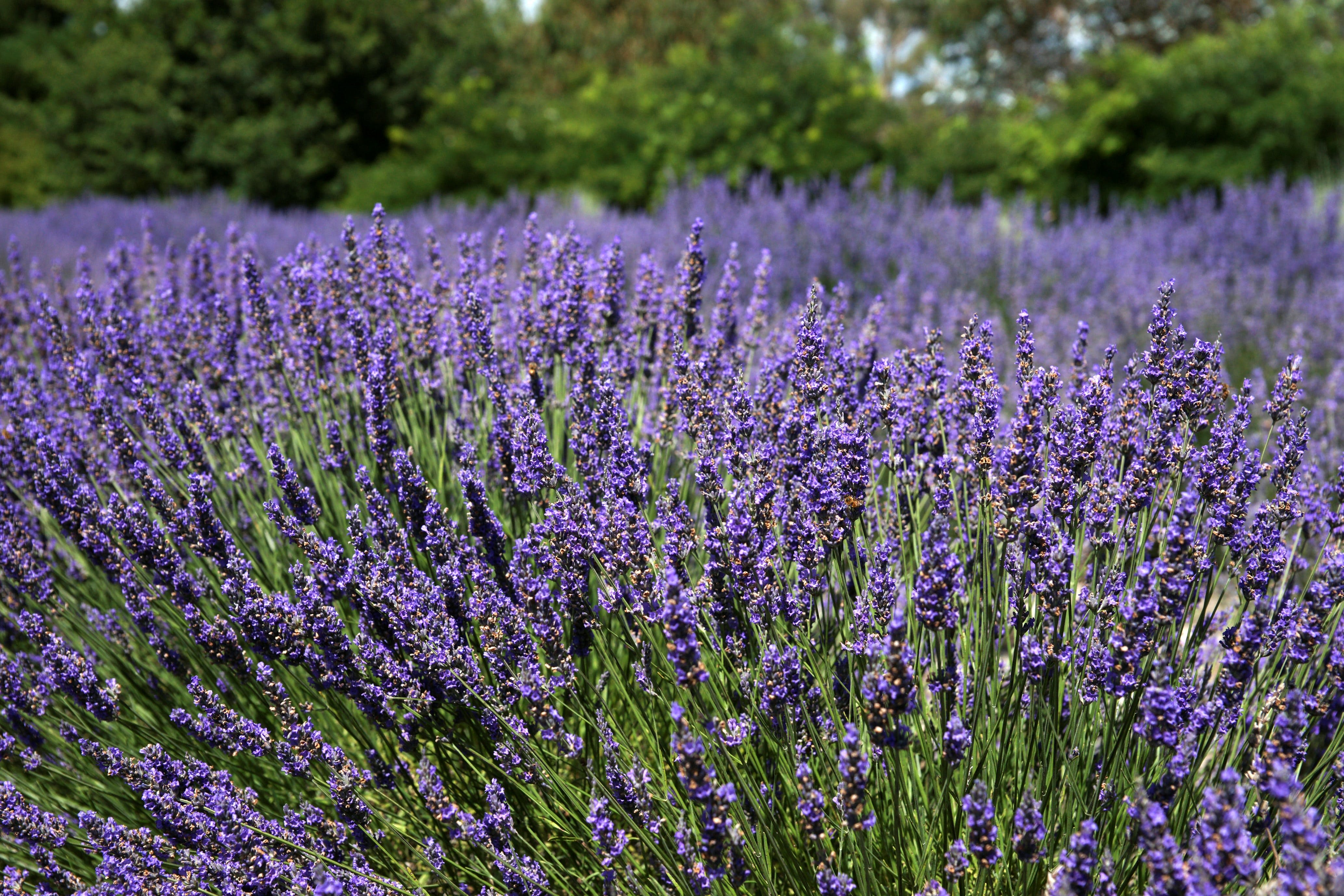 Lavender Herb and Chilli Festival - ACT Tourism